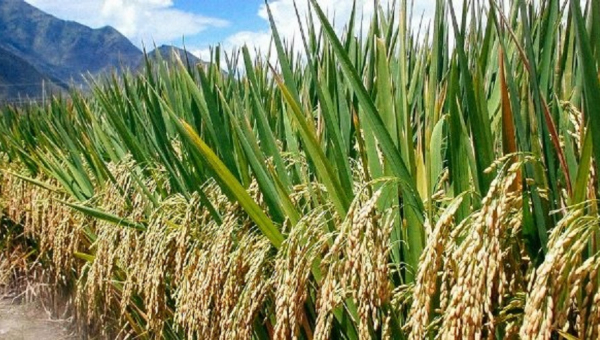 Build Ghana's local rice production amid COVID-19 – Rice farmer to Government